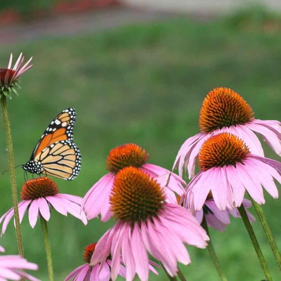 Webinar_(2021-04-22)_-_Pollinator_Garden.jpg