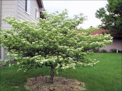 Alternate-Leaf Dogwood