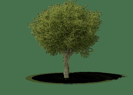 Hawthorn (Crataegus spp.)