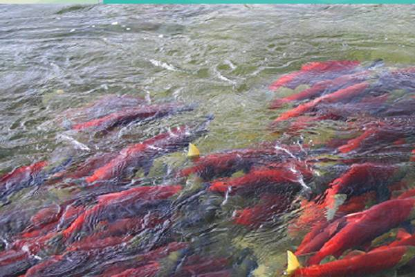 600,000 farmed salmon die of disease in BC annually — with what effect on wild fish and human health?